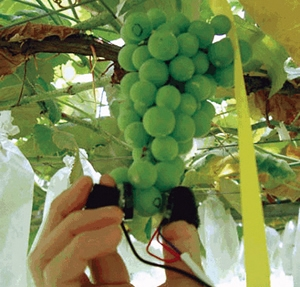 振動法による果実品質の測定