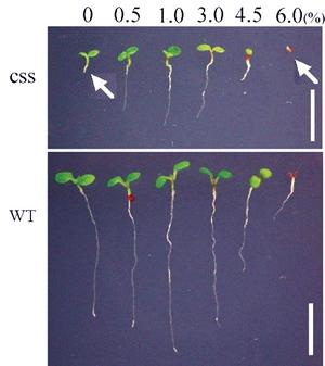 細胞壁と糖に対する感受性に異常のあるシロイヌナズナ突然変異体