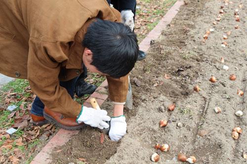 一つ一つ、穴を掘り球根を植える