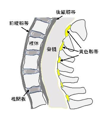 脊椎の断面図