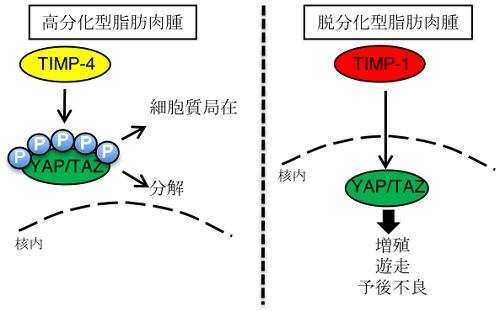 脂肪肉腫におけるTIMP-1/TIMP-4によるYAP/TAZ活性化機構