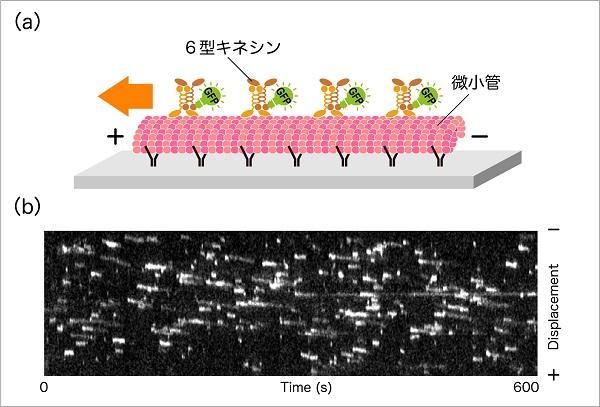分裂酵母モータータンパク質6型キネシン