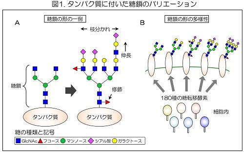 タンパク質に付いた糖鎖のバリエーション