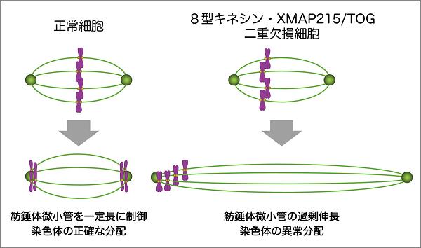 図1:正常細胞と8型キネシン・XMAP215/TOG二重欠損細胞の染色体分配様式