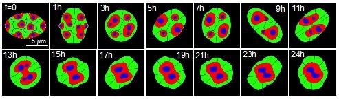 Phase-filed法の数理モデルを用いた細胞核の動的変形による核構造の再編成過程のシミュレーション
