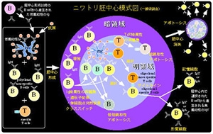 ニワトリ胚中心の模式図