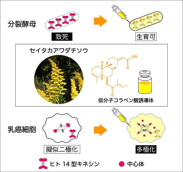 (図1)ヒト14型キネシン阻害物質としてセイタカアワダチソウから新たに発見した低分子コラベン酸誘導体と分裂酵母および乳癌細胞における阻害効果