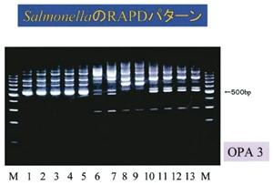 環境から分離したサルモネラのDNA解析