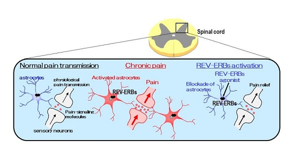 Normal pain transmission triggers signaling modules to cause a sensation of pain.