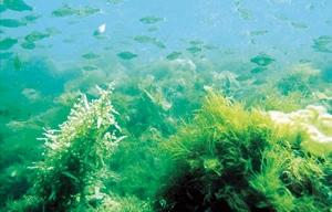 藻場に集まる魚たち