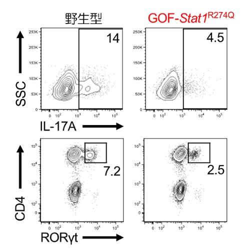C. albicans感染後のIL-17産生およびRORγt発現の解析