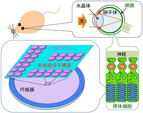 脊椎動物の目の構造、及び網膜桿体細胞内の円板膜における、ロドプシンの超分子構造の概略図