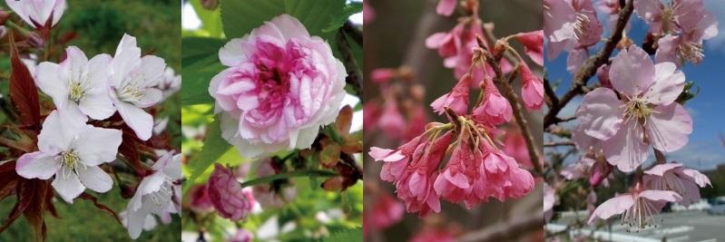 東広島キャンパスの桜