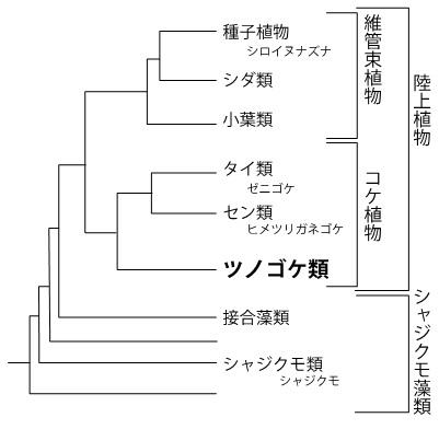 図1:陸上植物の系統関係を示した図