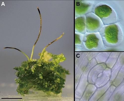図2:ツノゴケAnthoceros agrestisの様子。A: 外観、B: 1個の葉緑体を含む葉状体の細胞、C: 胞子体に見られる気孔