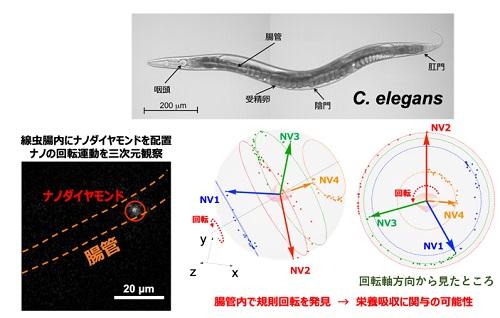 C. エレガンス腸管内において発見した規則的な超ミクロ回転運動
