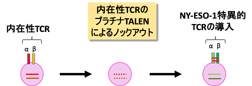 TCRの抗原結合部位はα鎖とβ鎖の2つのサブユニットで決定されており、それぞれのサブユニットをコードする遺伝子は異なった染色体上に存在する。プラチナTALENを用いることにより、α鎖遺伝子、β鎖遺伝子を段階的に非機能化し、内在性TCRの発現を失ったT細胞にNY-ESO-1特異的なTCR遺伝子を導入する過程の模式図。