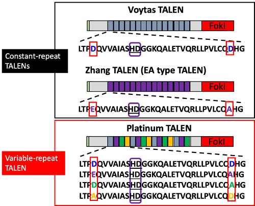 従来型TALEN(ConsTanT-repeat TALENs: VoyTas TALEN, Zhang TALEN)とプラチナTALEN(Variable-repeaT TALEN)のDNA結合モジュール構造の比較。従来型TALENでは、4番目・32番目のアミノ酸(赤枠)が同一であるのに対し、プラチナTALENでは周期的に変化することにより、高いDNA結合・切断活性を獲得する。なお、TALENはrepeaT variable diresidue(RVD)と呼ばれる12番目と13番目のアミノ酸配列(紫枠)の相違により、異なるDNA塩基と結合する(例: 図のHDはシトシンに結合)。