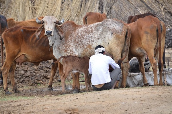 Hiroshima University scientists will work on a low-cost bovine sex selection model to help India's smallholder dairy farmers