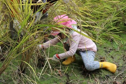 稲を刈り取る園児