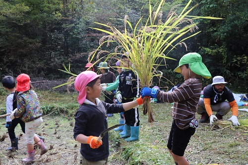 刈った稲を受け取る園児たち(1)