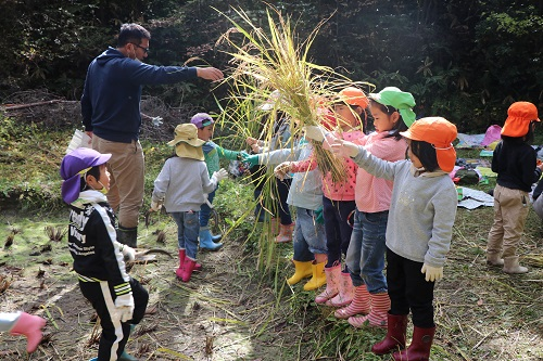 刈った稲を受け取る園児たち(2)