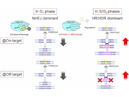 Turning off gene editing during error-prone cell cycle phases