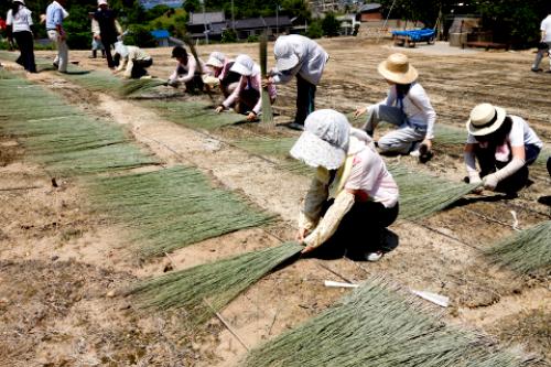 体验蔺草的种植和晒干过程