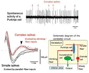 恐怖学習に関わる小脳ニューロン回路