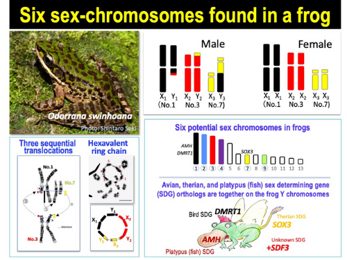 Odorrana swinhoana frog six sex chromosomes