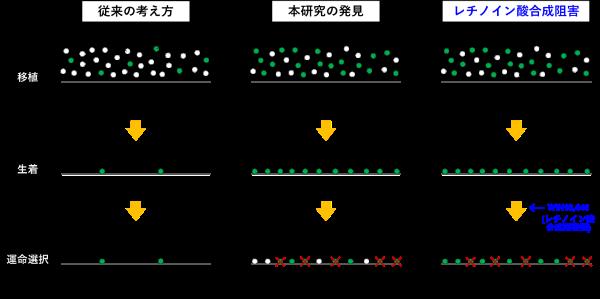 精子幹細胞の移植法の概要と現状