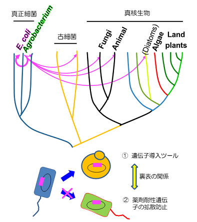 図1 IncP1型プラスミドの接合伝達による遺伝子の水平伝播