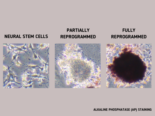 alkaline phospatase staining cell reprogramming tracking