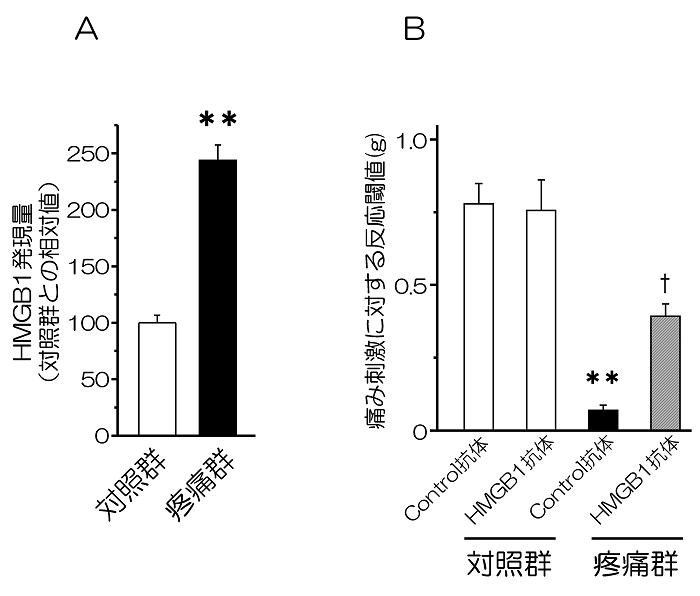 図1. 神経障害性疼痛時の傷害坐骨神経におけるHMGB1発現量の変化(A)とHMGB1中和抗体局所投与の効果(B)