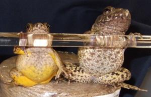 サドガエル(左)とツチガエル(右)