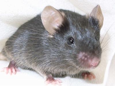 遺伝子操作マウス