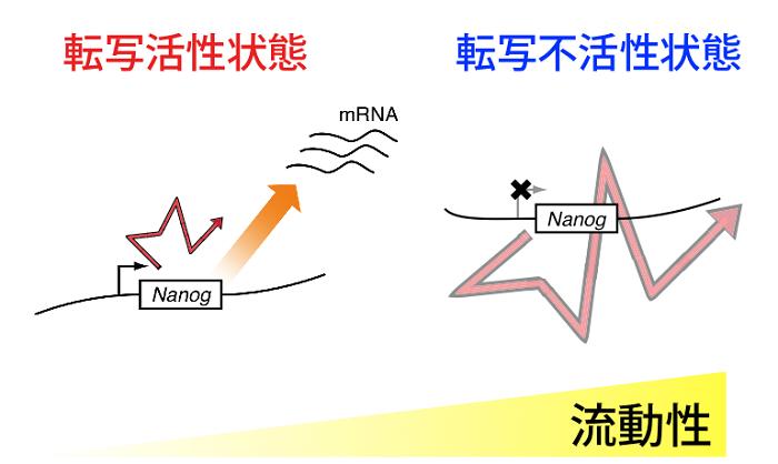 図2 転写活性状態依存的な核内遺伝子領域の流動性変化の模式図