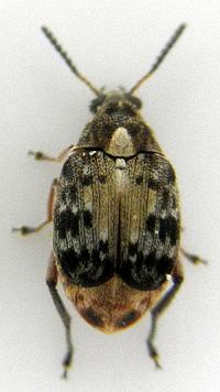 サイカチマメゾウムシの成虫(左:体長約6 mm)