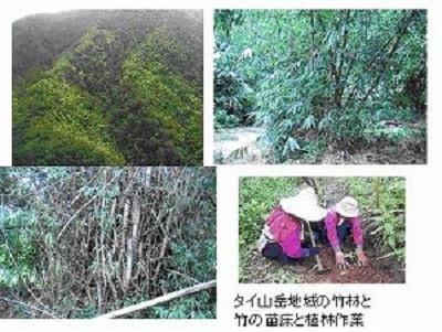 タイ山岳地域の竹林と竹の苗床と植林作業
