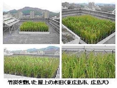 竹炭を敷いた屋上の水田
