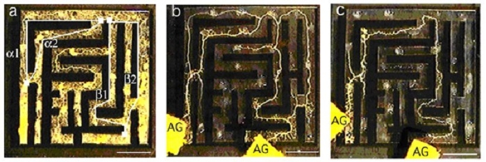 aの図:迷路一面に広がる粘菌 cの図:最短経路にだけ管を残した粘菌