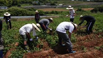 ジャガイモ収穫体験