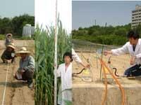 圃場試験におけるトウモロコシの播種から収穫 /簡易ライシメータによる硝酸性窒素溶脱の測定