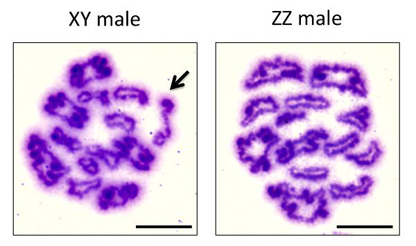 図2. XX/XY型とZZ/ZW型のツチガエルのオス(XY、ZZ)精母細胞における減数第一分裂中期像