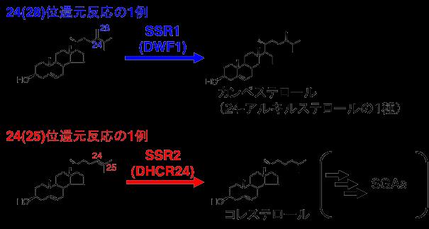 図2 24(28)位還元反応と24(25)位還元反応の1例
