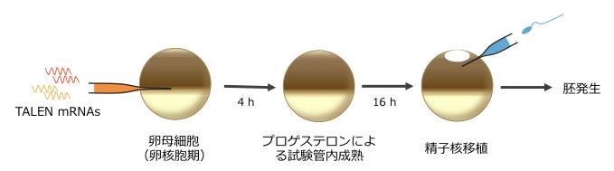 IVM-ICSIの概略図