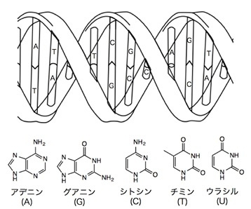 図2: DNAの構造と核酸塩基