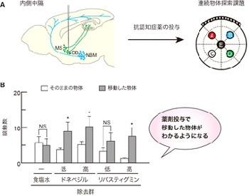 図4】抗認知症薬を投与すると、連続探索課題における内側中隔アセチルコリン細胞を除去したマウスの空間認識に関する記憶障害が回復する