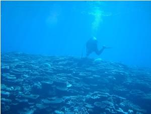 サンゴ礁においてスキューバダイビングで調査を実施