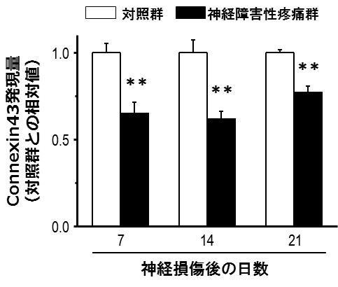 図1. 神経障害性疼痛時の脊髄におけるconnexin43発現量の変化